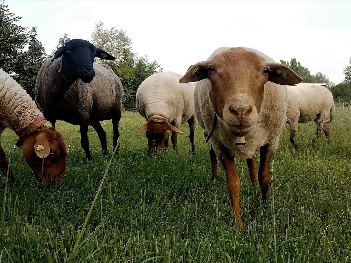 Hilde mit ihren Coburger Fuchsschaf-Freundinnen