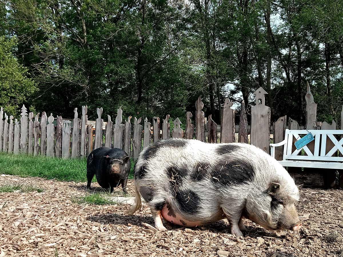 Rosi und Waltraud unsere Minischweine