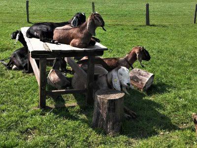 Unsere Ziegenbande